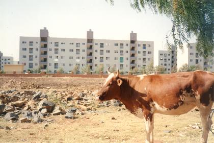 Cattle at the water depot (Sembel Housing Complex)